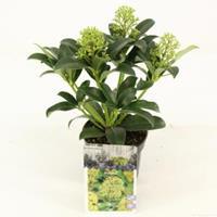 "plantenwinkel.nl Skimmia (Skimmia Japonica ""Fragrant Cloud"") heester - 15-20 cm (P10,5) - 11 stuks"