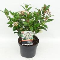 "plantenwinkel.nl Sneeuwbal (Viburnum tinus ""Lucidum"") heester - 20-25 cm (C2) - 6 stuks"
