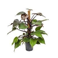 plantenwinkel.nl Philodendron royal queen hydrocultuur plant