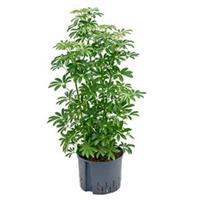 plantenwinkel.nl Schefflera louisiana hydrocultuur plant