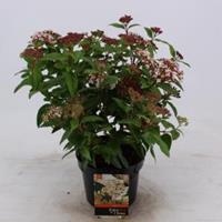 plantenwinkel.nl Sneeuwbal (Viburnum tinus) heester - 25-30 cm (C2) - 6 stuks