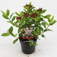 "plantenwinkel.nl Sneeuwbal (Viburnum tinus ""Gwenllian"") heester - 25-30 cm (C2) - 6 stuks"