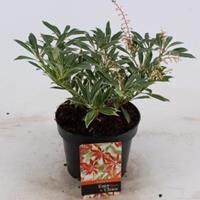 "plantenwinkel.nl Rotsheide (Pieris ""Flaming Silver"") heester - 20-25 cm (C2) - 6 stuks"