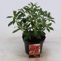 """plantenwinkel.nl Rotsheide (Pieris """"Forest Flame"""") heester - 20-25 cm (C2) - 6 stuks"""