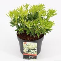 """plantenwinkel.nl Rotsheide (Pieris Japonica """"Debutante"""") heester - 20-25 cm (C2) - 6 stuks"""