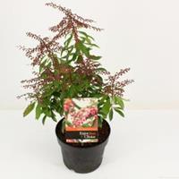 "plantenwinkel.nl Rotsheide (Pieris Japonica ""Valley Valentine"") heester - 20-25 cm (C2) - 6 stuks"