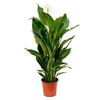 plantenwinkel.nl Spathiphyllum sweet sebastiano kamerplant