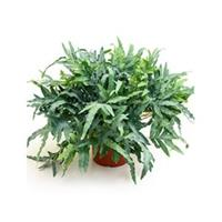 plantenwinkel.nl Phlebodium blue star zinkvaren kamerplant