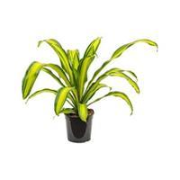plantenwinkel.nl Dracaena charley M kamerplant