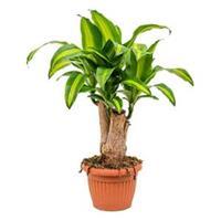 plantenwinkel.nl Dracaena massangeana M kamerplant