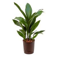plantenwinkel.nl Aspidistra elatior M hydrocultuur plant