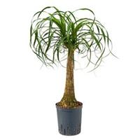 plantenwinkel.nl Beaucarnea recurvata stam 45 hydrocultuur plant