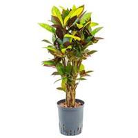 plantenwinkel.nl Croton iceton S hydrocultuur plant