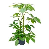 plantenwinkel.nl Schefflera amate M hydrocultuur plant