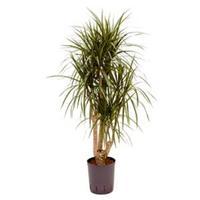 plantenwinkel.nl Dracaena marginata L hydrocultuur plant
