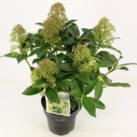 "plantenwinkel.nl Skimmia (Skimmia Japonica ""Fragrant Cloud"") heester - 20-25 cm (P15) - 6 stuks"