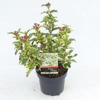 "plantenwinkel.nl Sneeuwbal (Viburnum tinus ""White Egret"") heester - 20-25 cm (C2) - 6 stuks"