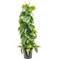 plantenwinkel.nl Philodendron scandens brasil mosstok 100 kamerplant