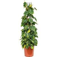 plantenwinkel.nl Philodendron scandens brasil colomnae M kamerplant