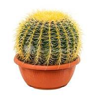 plantenwinkel.nl Echinocactus grusonii XS kamerplant
