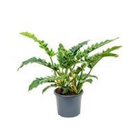plantenwinkel.nl Philodendron narrow M kamerplant