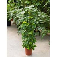 plantenwinkel.nl Scindapsus epipremnum aureum S kamerplant