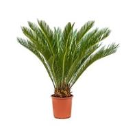 plantenwinkel.nl Cycas Palm revoluta stam S kamerplant