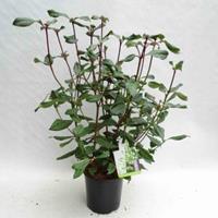 "plantenwinkel.nl Sneeuwbal (Viburnum globosum ""Jermyns Globe"") heester - 25-30 cm (C2) - 6 stuks"