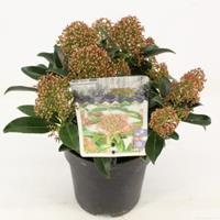 "plantenwinkel.nl Skimmia (Skimmia Japonica ""Marlot"") heester - 10-15 cm (P13) - 8 stuks"