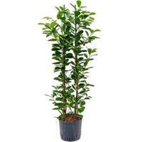 plantenwinkel.nl Ficus moclame 2pp hydrocultuur plant