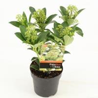 "plantenwinkel.nl Skimmia (Skimmia Japonica ""Fragrant Cloud"") heester - 20+ cm (P13) - 8 stuks"
