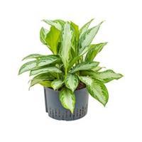 plantenwinkel.nl Aglaonema silver bay XL hydrocultuur plant