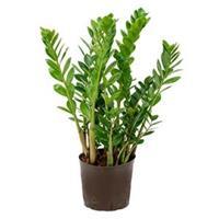 plantenwinkel.nl Zamioculcas zamiifolia L hydrocultuur plant