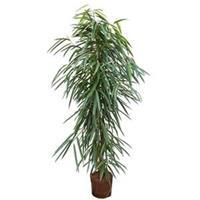 plantenwinkel.nl Ficus alii toef L hydrocultuur plant