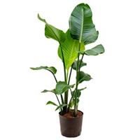 plantenwinkel.nl Strelitzia nicolai M hydrocultuur plant