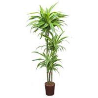 plantenwinkel.nl Dracaena lemon lime santoa hydrocultuur plant