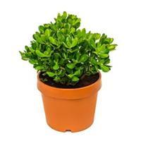 plantenwinkel.nl Crassula ovata M kamerplant