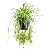 plantenwinkel.nl Chlorophytum ocean hangplant