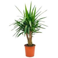 plantenwinkel.nl Yucca elephantipes vertakt M kamerplant