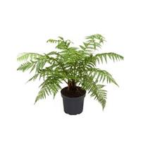 plantenwinkel.nl Dicksonia antartica stam S boomvaren kamerplant