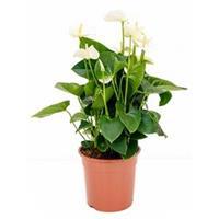 plantenwinkel.nl Anthurium andreanum sumi kamerplant