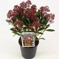 "plantenwinkel.nl Skimmia (Skimmia Japonica ""Rubella"") heester - 25-30 cm (P15) - 6 stuks"