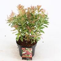 "plantenwinkel.nl Rotsheide (Pieris Japonica ""Ralto"" PBR) heester - 20-25 cm (C2) - 6 stuks"