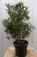 Warentuin Olijfboom Olea Europaea 90 cm