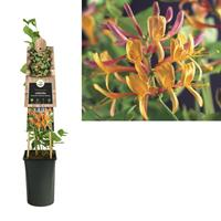 vanderstarre Klimplant Lonicera heckrottii American Beauty 75 cm