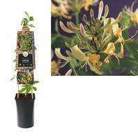 vanderstarre Klimplant Lonicera periclymenum 75 cm