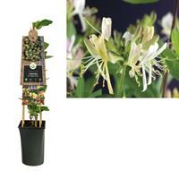 vanderstarre Klimplant Lonicera per. Belgica Select 75 cm