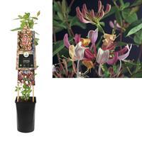 vanderstarre Klimplant Lonicera per. Serotina 75 cm
