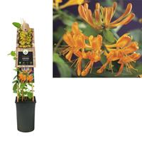 vanderstarre Klimplant Lonicera tellmanniana 75 cm