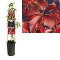 vanderstarre Klimplant Parthenocissus Engelmannii 75 cm